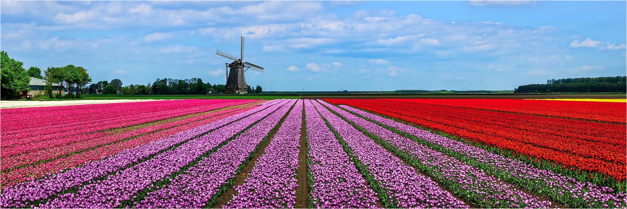 Panoramabild Tulpenfelder in Holland