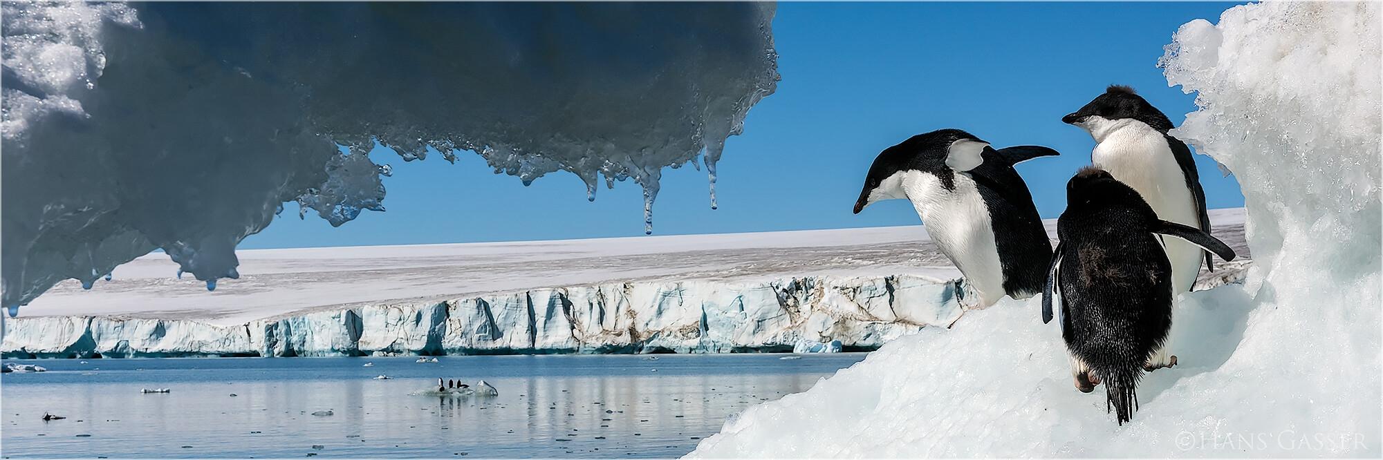Panoramabild Antarktis Adélie Pinguine Dundee Island