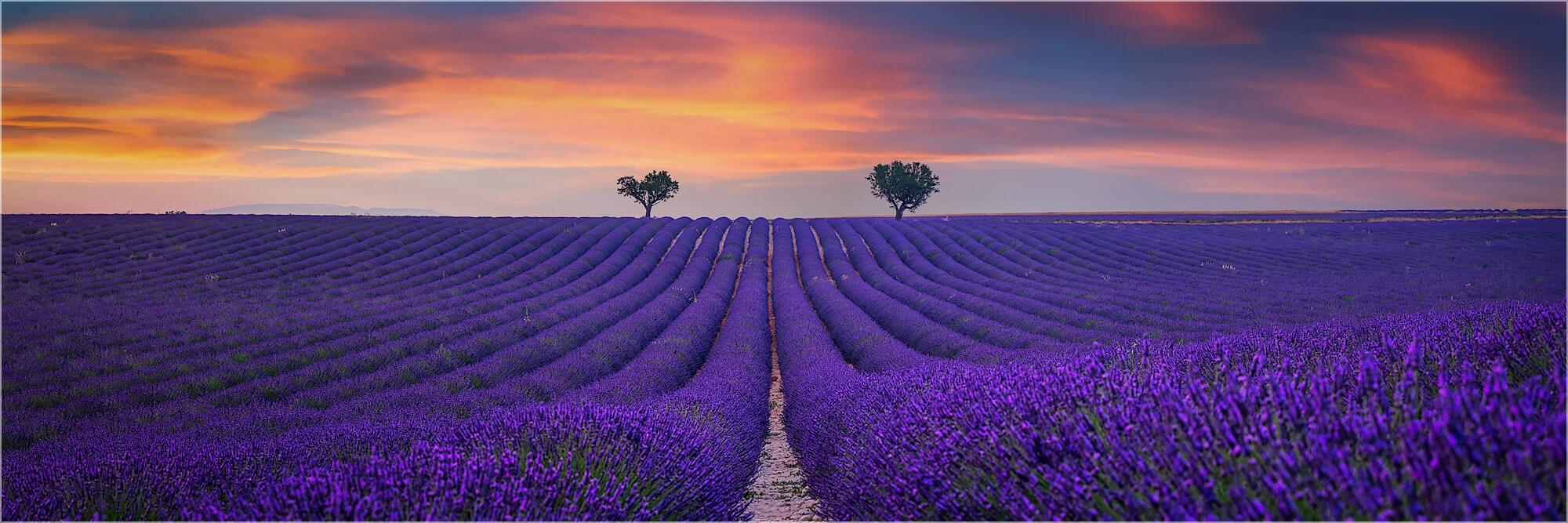 Panoramabild Sonnenuntergang im Lavendelfeld Provence